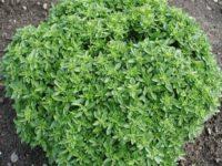 Базилик Гвоздичный / Ocimum basilicum