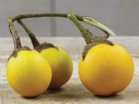Баклажан Золотые яйца тайца / Thai Yellow Egg Eggplant Solanum aethiopicum