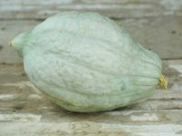 Сквош Синий Хаббард / Blue Hubbard squash Cucurbita maxima
