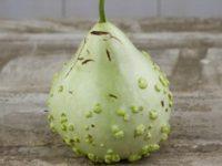 Лагенария Майо Буле / Mayo Bule Gourd / Lagenaria siceraria