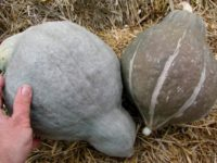 Тыква Изящная / Cucurbita maxima