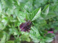 Базилик Анисовый аромат Ocimum basilicum