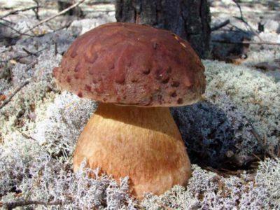 Белый гриб дубовый / Boletus Boletus edulis f. quercicola