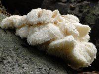 Ежевик гребенчатый (ямабуши, львиная грива) / Hericium erinaceus