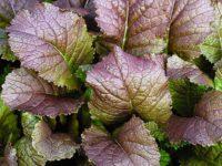 Горчица салатная (листовая) Красная горка Brassica juncea