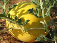 Арбуз Подарок солнца / Citrullus lanatus