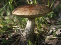 Подберезовик обыкновенный / Leccinum scabrum
