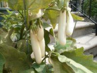 Баклажан Пеликан F1 Solanum melongena