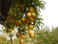 Пепино Рамзес / Solanum muricatum