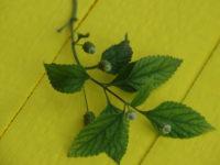 Липпия сладкая  / Lippia dulcis