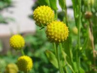Цефалофора ароматная / Земляничная трава / Cephalophora aromatica
