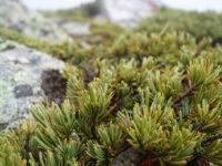 Кедровый стланик / Pinus pumila
