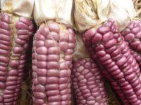 Кукуруза Морадо Потолеро Morado Potolero Corn