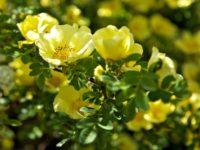 Шиповник желтоватый / Rosa xanthina
