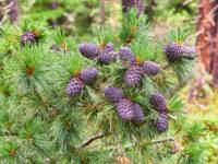 Сосна кедровая сибирская / Pinus sibirica