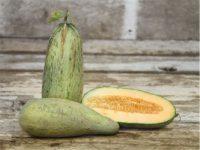 Дыня Индийская сливочная кобра / Indian Cream Cobra Melon / Cucumis melo