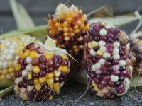 Индийская ягодная кукуруза / Indian Berries Popcorn / Zea mays