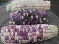 Кукуруза Белый орел чероки / Cherokee White Eagle Corn / Zea mays