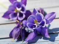 Аквилегия гибридная Голубая звезда / Aquilegia hybrida