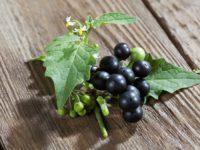 Паслен черный / Solanum nigrum
