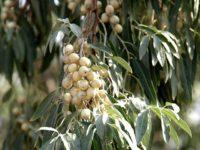 Лох узколистный / Elaeagnus angustifolia