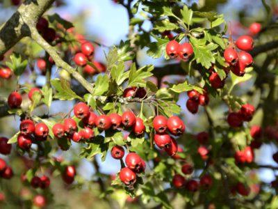 Боярышник кроваво-красный, или сибирский / Crataegus sanguinea