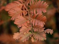 Метасеквойя глиптостробусовая / Metasequoia glyptostroboides