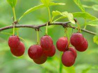 Ярко-красные плоды принсепии