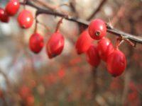 Барбарис обыкновенный / Berberis vulgaris