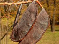 Бундук двудомный / Gymnocladus dioicus