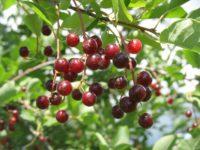 Черемуха виргинская / Prunus virginiana