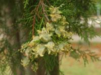 Плосковеточник восточный / Platycladus orientalis