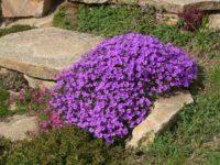 Обриета гибридная Ксения / Aubrieta × hybrida
