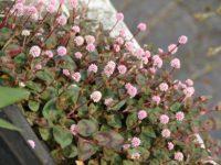 Горец головчатый Аметистовая крошка / Polygonum capilatum