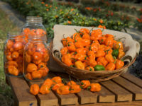 Перец кустарниковый Колпак Петрушки / Capsicum frutescens