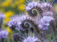 Фацелия Голубая мечта / Phacelia tanacetifolia