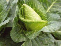 Капуста белокочанная Сердце буйвола / Brassica oleracea