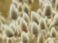 Зайцехвост яйцевидный / Lagurus ovatus