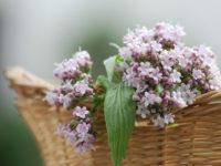 Валериана лекарственная Спокойный сон / Valeriana officinalis