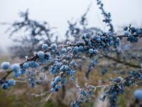 Терн колючий / Prunus spinosa